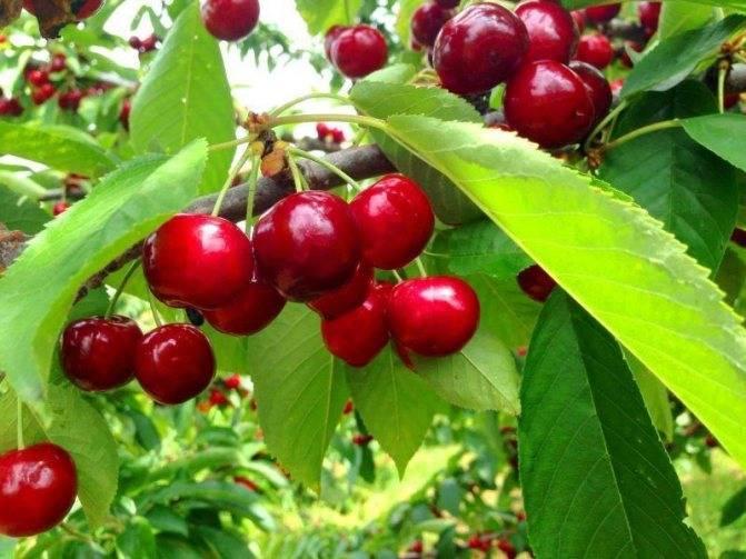 10 причин, почему не распускаются и вянут листья у вишни
