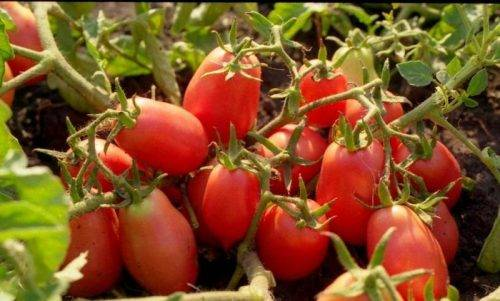 Характеристика и описание сорта томата рио гранде, его урожайность