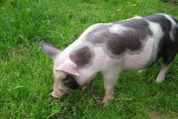 Содержание свиней — постройка, оборудование, расположение, ветеринарные нормы и правила (90 фото)