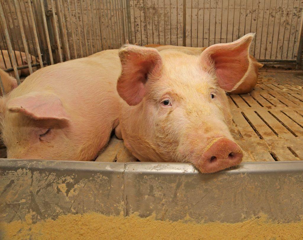 Обзор болезней свиней