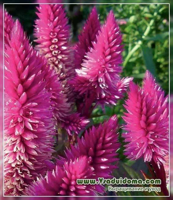 Целозия: виды и сорта, посадка и уход, выращивание из семян