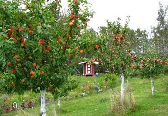 Посадка яблонь: расстояние между деревьями