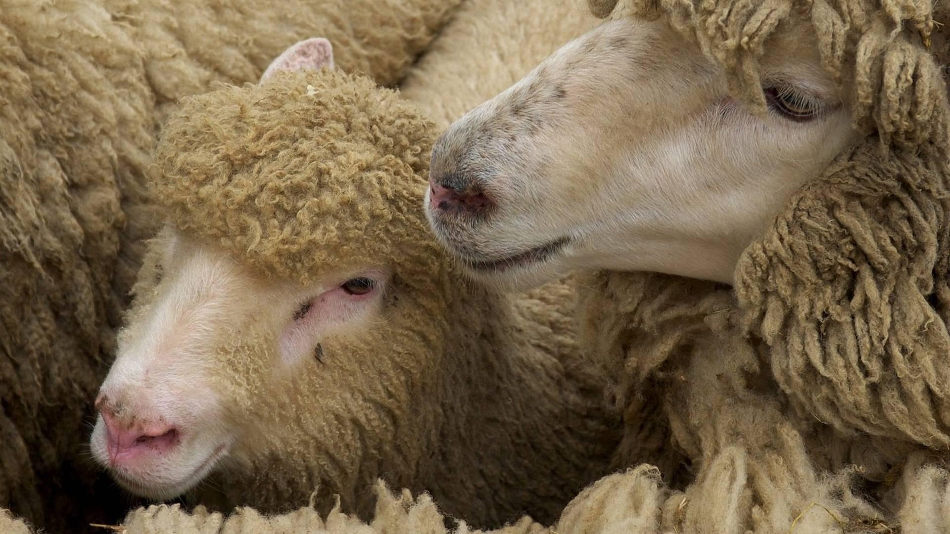 Чесотка у овец (короста)