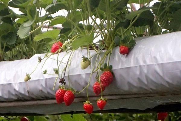 Голландский метод выращивания клубники в теплице