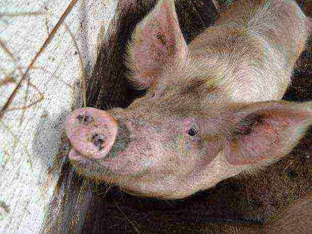 Санитарные нормы и правила, регламентирующие содержание свиней