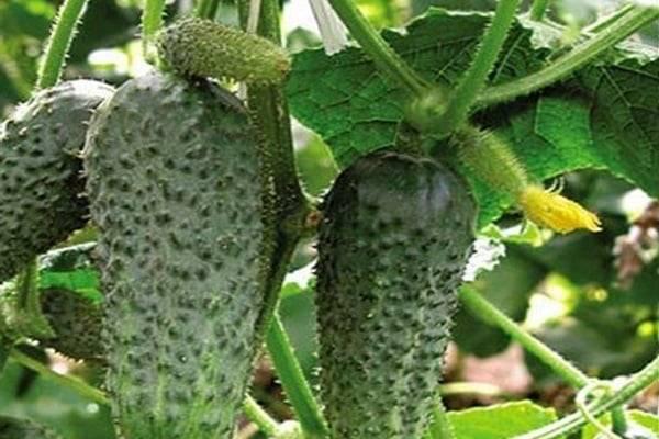 Особенности выращивания огурцов сорта внучок