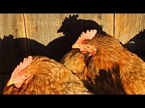 Продолжительность жизни курицы и петуха