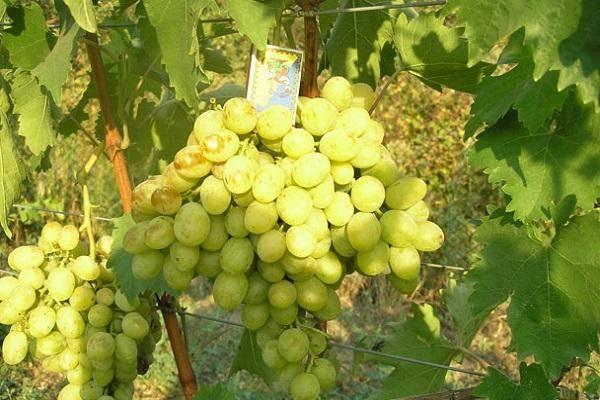 Виноград ланселот: описание и характеристика сорта