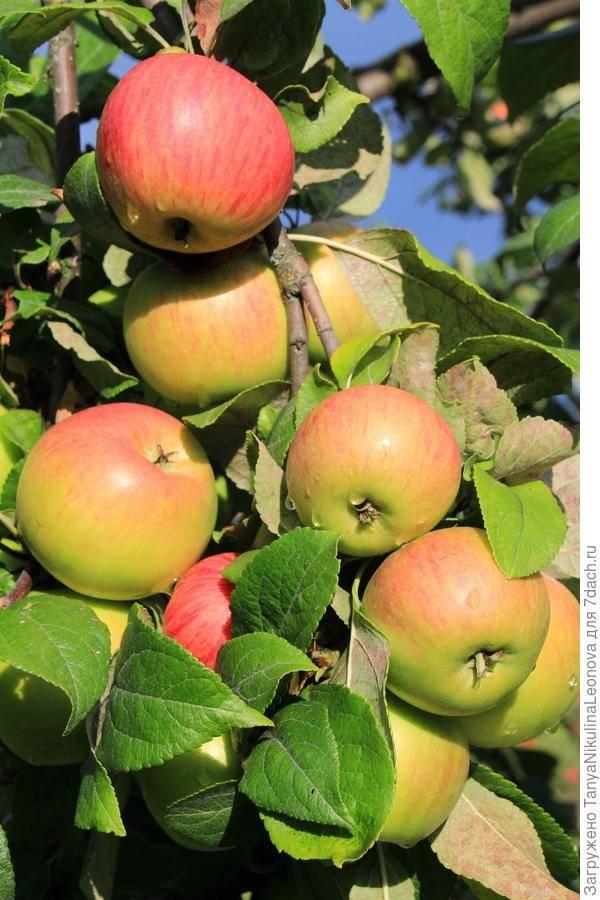 Яблоня макинтош — описание сорта, фото, отзывы