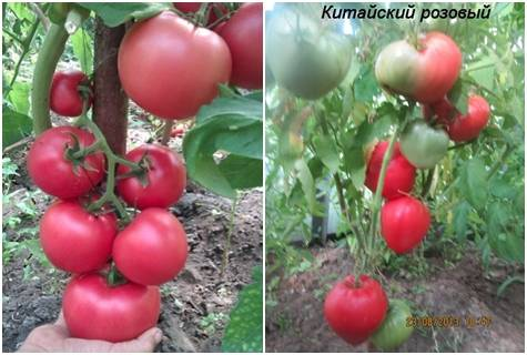 Фото, отзывы, описание, характеристика и урожайность сорта томата «японская роза»