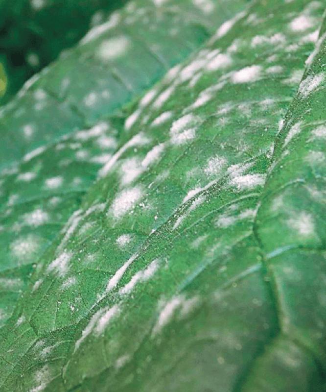 Мучнистая роса (сферотека)