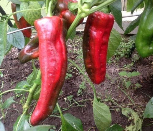 Выращивание перца в теплице и открытом грунте в Подмосковье