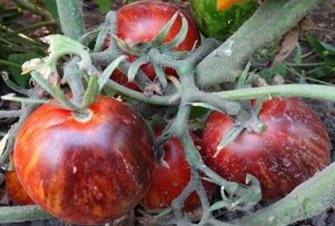 Характеристика и описание сортов томатов серии гном томатный, его урожайность