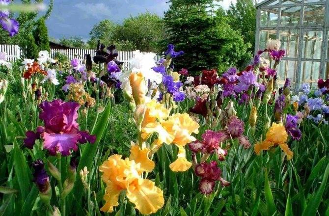 В какое время пересаживать ирисы. июль и август – время пересаживать ирисы в саду. правильный выбор места