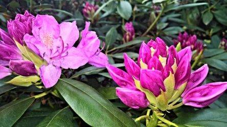 Рододендрон гаага (haaga): описание, посадка и уход