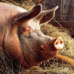 Крупные белые свиньи: подробный обзор породы