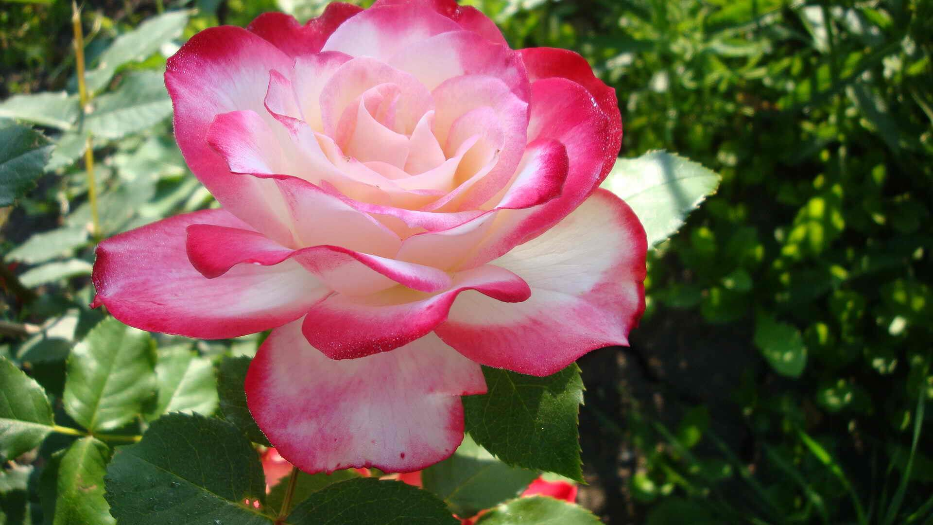 Роза принцесса монако (princesse de monaco) — характеристики сорта