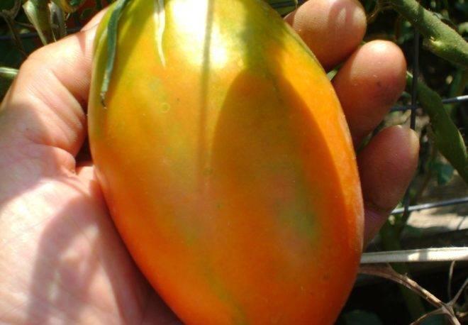 Характеристика и описание сорта томата Золотая рыбка, его урожайность