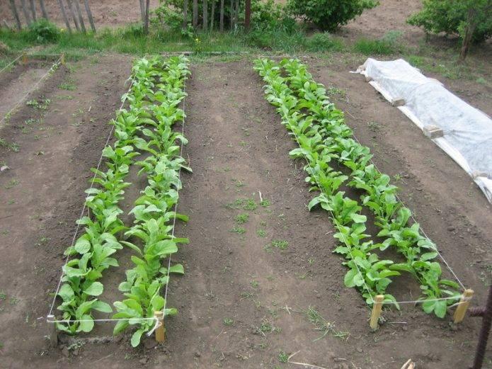 Особенности выращивания маргеланской редьки — правила посадки и ухода, сроки посева, возможные проблемы
