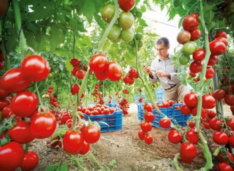 Характеристика и описание сорта томата Демидов, его урожайность