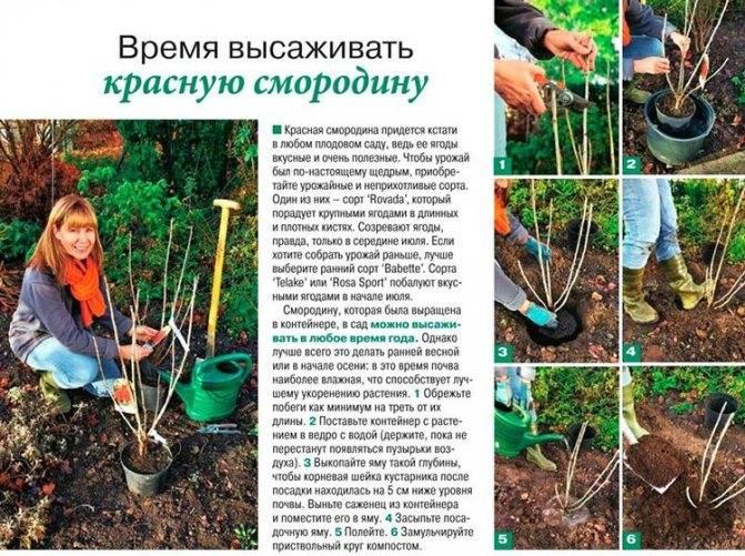 Как правильно посадить черную смородину весной