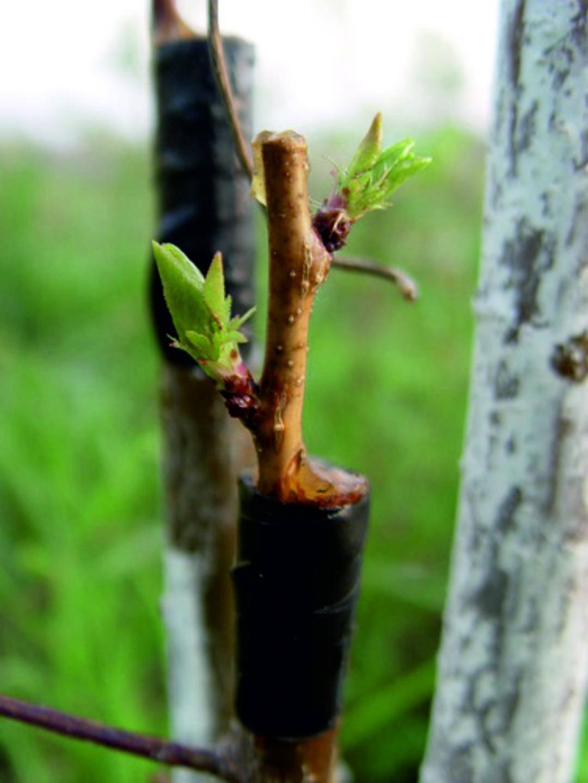 Можно ли привить персик на вишню. когда и как прививать персик весной и летом: способы и их пошаговые инструкции. способы прививания персика