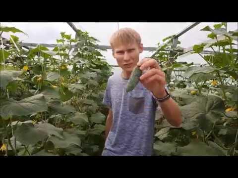 Описание сорта огурца бьерн f1: урожайность и особенности выращивания