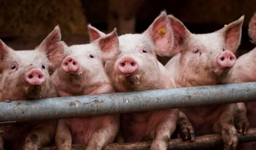 Делаем своими руками кормушки для свиней, ниппельные поилки и другие составляющие комфортной и здоровой жизни поросенка