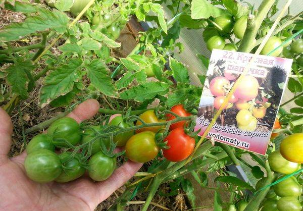 Томат оранжевая шапочка: описание и характеристика сорта, урожайность с фото