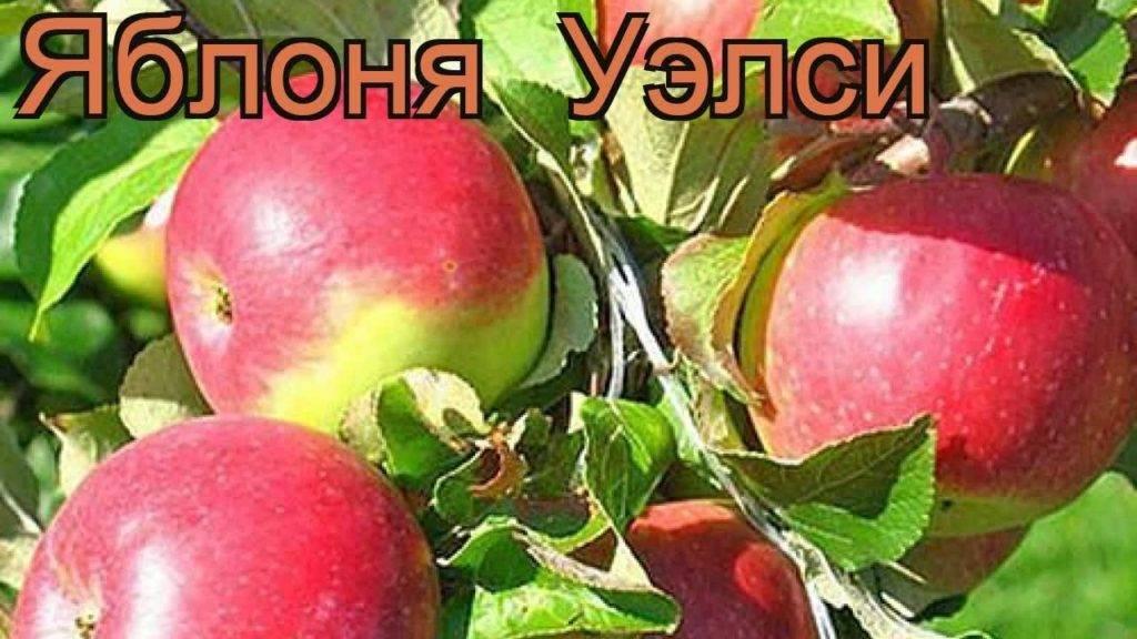 Раннезимний сорт яблони уэлси — преимущества и недостатки
