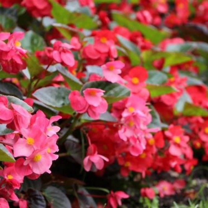 Наиболее популярные виды комнатных и садовых бегоний