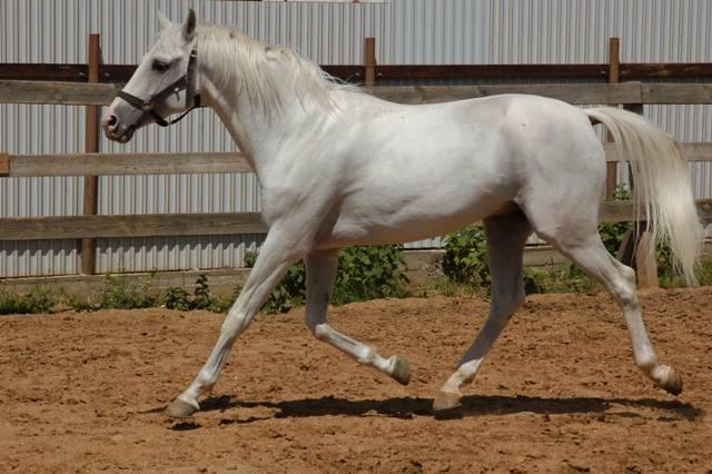 Характеристика и описание кабардинской породы лошадей