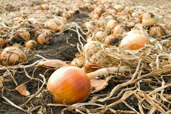 Уборка чеснока на хранение: когда нужно выкапывать урожай по лунному календарю 2020 года