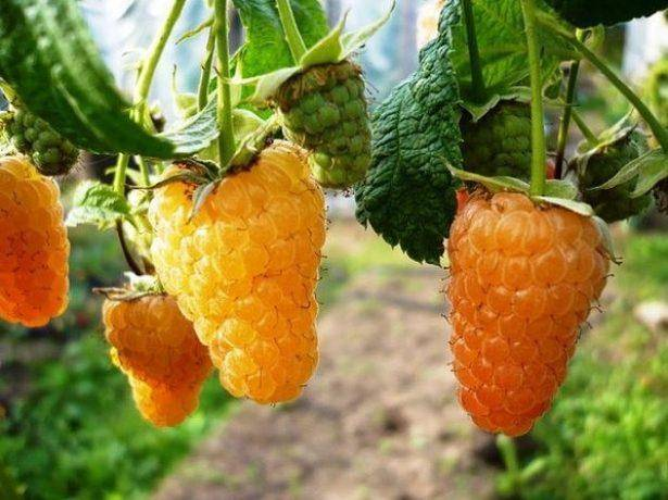 Древовидная малина посадка выращивание и уход размножение штамбовой малины фото сортов