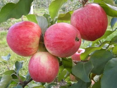 Плюсы выращивания зимнего сорта яблони беркутовское