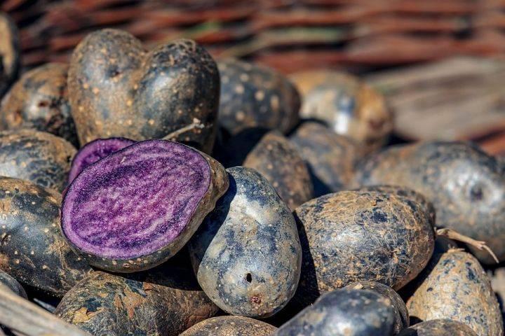 Картошка с фиолетовой мякотью: характеристика, уход, способы приготовления