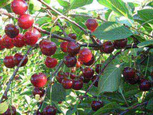 Сорт вишни шпанка. описание, особенности ухода, фото