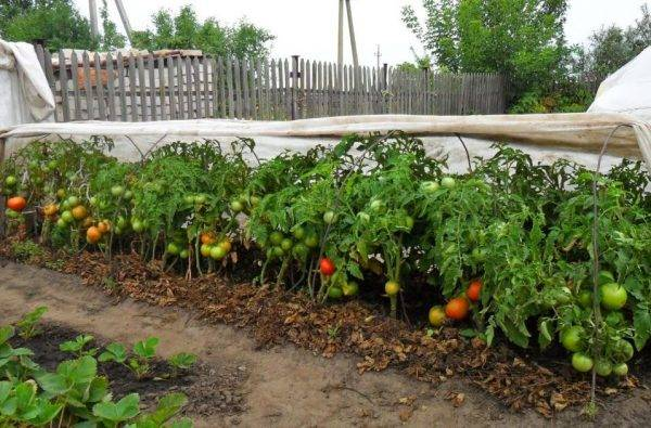 Как правильно сажать, выращивать и ухаживать за томатами в открытом грунте