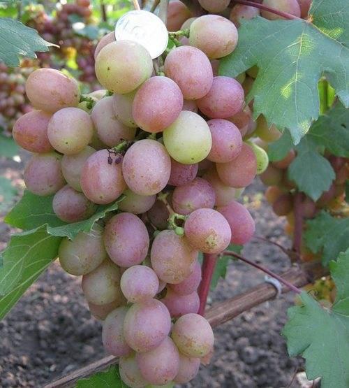 Сорт винограда гурман — описание, посадка и уход