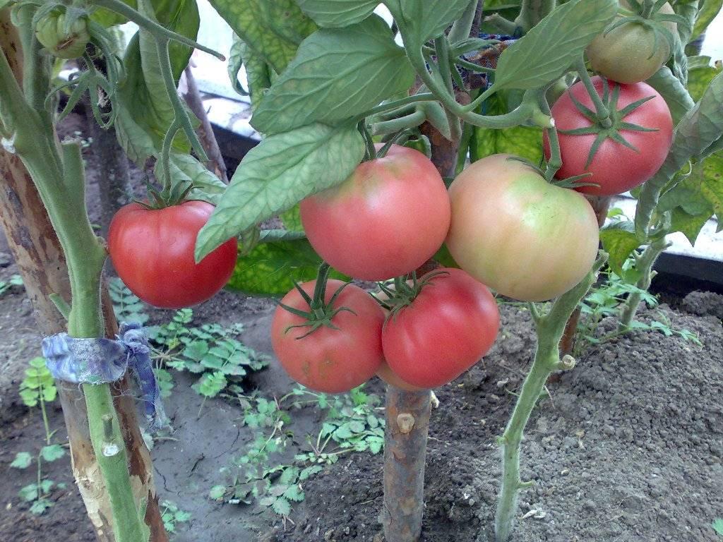 Описание, характеристика, урожайность, отзывы и фото сорта томатов «розовый мед»