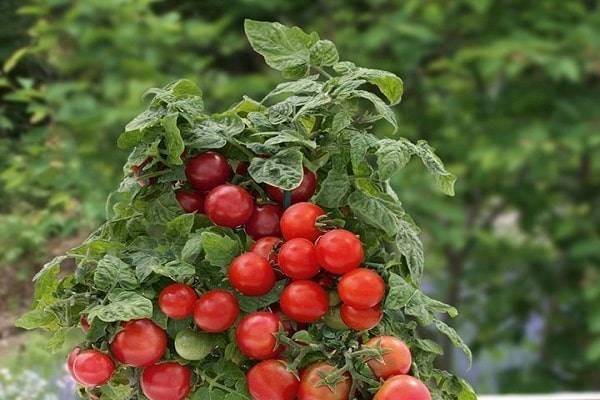 Нюансы выращивания, характеристика и описание томата грибное лукошко