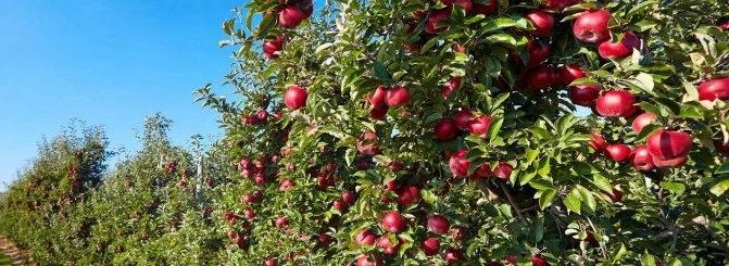 Все про декоративную яблоню рудольф