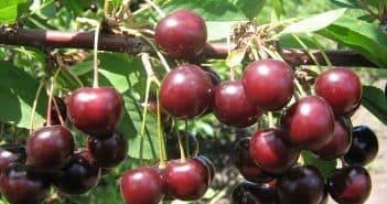 Церападус и падоцерус — гибриды черемухи и вишни