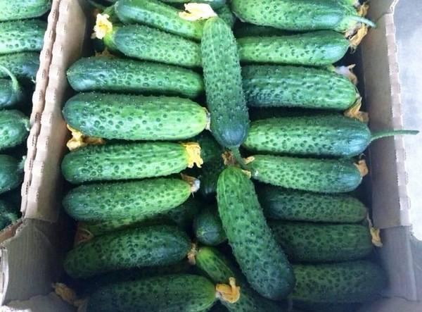 Огурец кибрия: описание и характеристика сорта, урожайность с фото