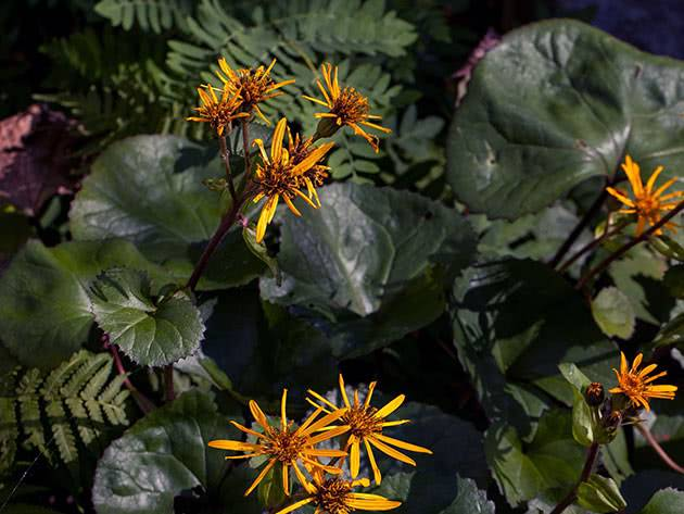 Уход за глицинией в саду: как правильно укрыть на зиму?