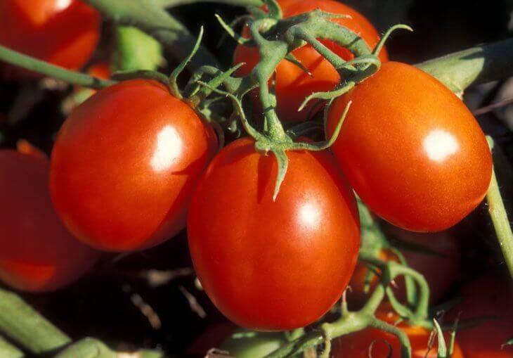 Сорт с хорошим иммунитетом — томат московский: подробное описание