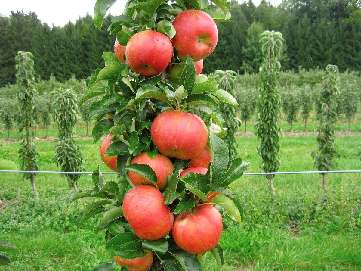 сорта колоновидных яблонь описание и фото погоды является тип