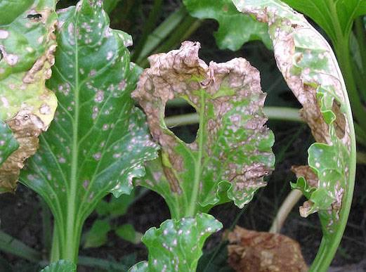 Почему покраснели листья у свеклы: причины и лечение
