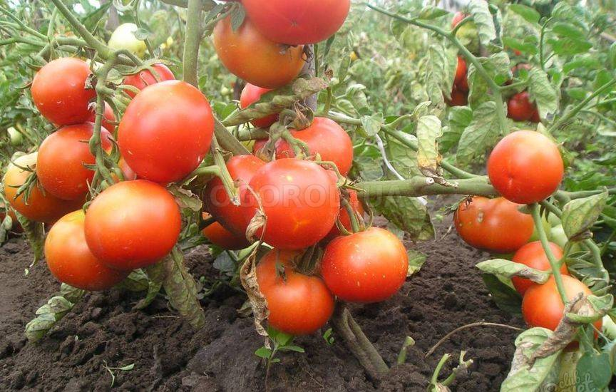 Характеристика и описание сорта томатов «джина»: выращивание и борьба с вредителями, фото помидор и достоинства сорта