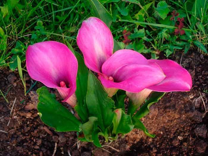 Каллы садовые